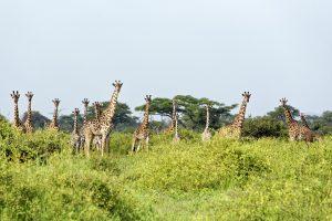Jirafas en Tanzania.